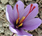 Flower of Saffron